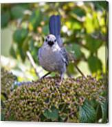 In The Catbird Seat Canvas Print