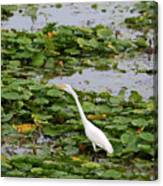 In The Lily Pads Canvas Print