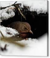 In The Shelder. Eurasian Blackbird Canvas Print