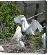 In The Wild White Snowy Egrets Photography ....photo A Canvas Print