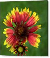 Indian Blanket Flower - Gaillardia Canvas Print