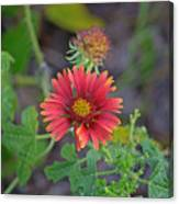 Indian Blanket Flower Canvas Print