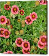 Indian Blanket Flowers Canvas Print