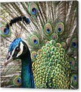 Indian Blue Peacock Puohokamoa Canvas Print