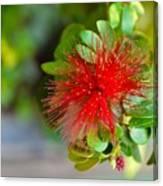 Indian Bottlebrush Flower Canvas Print