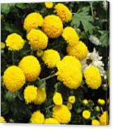 Indian Mums - Yellow Chaamanthi Canvas Print