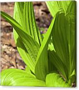 Indian Poke -veratrum Veride- Canvas Print