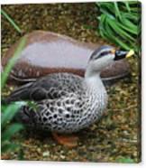 Indian Spot-billed Duck Canvas Print