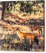 Indian Wild Dogs Dholes Kanha National Park India Canvas Print
