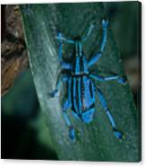Indigo Blue Weevil Canvas Print