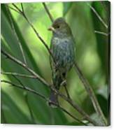 Indigo Bunting - Felts Nature Preserve - Ellenton Florida Canvas Print