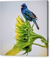 Indigo Bunting Sunflower Canvas Print