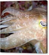 Indonesia, Cuttlefish Canvas Print