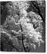 Infrared Tree Pic Canvas Print
