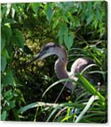 Injure Blue Heron Canvas Print
