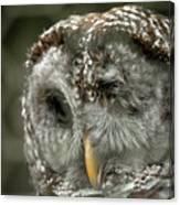 Injured Owl Canvas Print