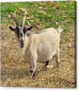 Inquisitive Goat Canvas Print