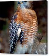 Inquisitive Red Tailed Female Hawk Canvas Print