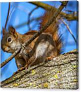 Inquisitive Squirrel Canvas Print