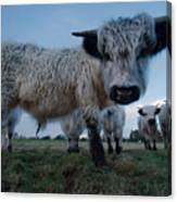 Inquisitive White High Park Cow Canvas Print