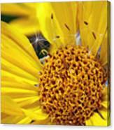 Inside Sunflower Canvas Print