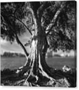 Intercoastal Pine Canvas Print