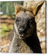 Interview With A Swamp Wallaby Canvas Print