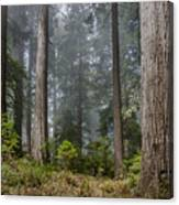 Into The Redwood Forest Canvas Print