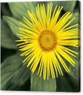Inula Grandiflora Canvas Print