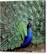 Iridescent Blue-green Peacock Canvas Print