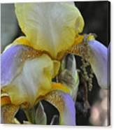 Iris Beauty Canvas Print