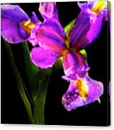Iris Bloom Two Canvas Print