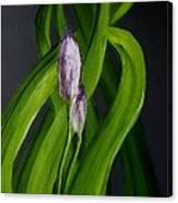 Iris Buds  49 Canvas Print