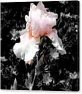 Iris Emergance Canvas Print