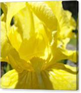 Iris Flower Yellow Macro Close Up Irises 30 Sunlit Iris Art Print Baslee Troutman Canvas Print