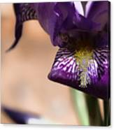 Iris Gemanica Canvas Print