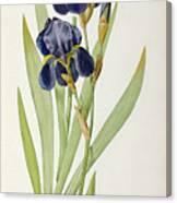 Iris Germanica Canvas Print