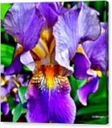 Iris In Bloom Canvas Print