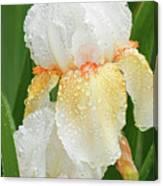 Iris In The Rain Canvas Print