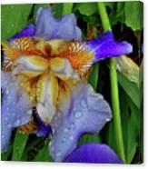 Iris Rain Blue Canvas Print