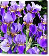 Iris Splendor Canvas Print