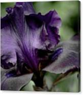 Iris - Superstition Canvas Print