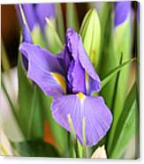Iris Unfolding II Canvas Print