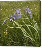 Irises By The Sea Canvas Print