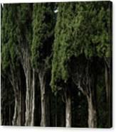 Italian Cypress Trees Line A Road Canvas Print