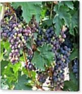 Italian Grapes Canvas Print