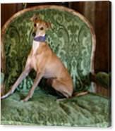 Italian Greyhound Portrait Canvas Print