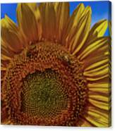 Italian Sunflower With Bees Canvas Print