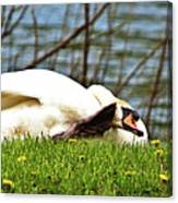 Itchy Swan Canvas Print