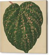 Ivy Leaf, Cissus Porphyrophyllus  Canvas Print